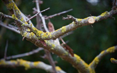 Élagage et taille d'arbres fruitiers